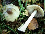 Volvariella murinella - Mausgrauer Scheidling.Seltene Art,gefunden am Rand eines Fichtenwaldes zwischen Gräsern.