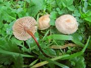 Marasmius scorodonius - Echter Küchenschwindling,Knoblauchpilz.Als Würzpilz geeeignet.Auf Wiesen zwischen Gräsern,am kräftigen Geruch gut erkennbar.