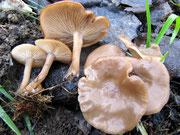Clitocybe amarescens (=nitrophila?) - Ruderal-Trichterling,nicht essbar.Im Spätherbst auf faulenden Kompost (Gras,Laub,Stroh...)