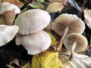 Marasmius wynnei - Violettlicher Schwindling,selten.Gefunden im Kalk-Buchenwald,aber nur an einer Stelle.