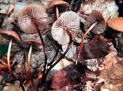 Marasmius cohaerens - Hornstieliger Schwindling.Gut getarnt zwischen Gras und Laub,meist in Auwäldern,selten.