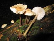 Mycena galericulata - Rosablättriger Helmling.Großer und häufiger Helmling mit zuletzt rosa werdenden Lamellen.An Holzstubben,ungiftig.