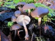 Mycena tintinnabulum - Winterhelmling.Meist erst ab Dezember auf Stubben der Rotbuche,einmal auch auf Birke gesehen.Seltene,essbare Art,nicht in jeder Gegend verbreitet.