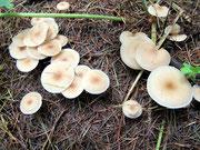 Clitocybe foetens - Stinkender Trichterling,nicht essbar.Oft in großer Zahl in der Nadelstreu der Fichten.