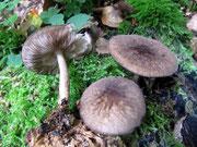 Pluteus ambrosus - Braunschneidiger Dachpilz,essbar,relativ selten auf morschen,liegenden,dicken Stämmen von Laubholz.
