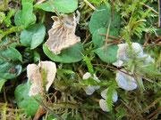 Arrhenia (=Leptoglossum) retiruga (Bild 2/2)-Ansicht von unten