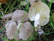 Tricholoma argyraceum - Gilbender Erdritterling,essbar.Unter Laubbäumen und Gebüsch.Gern in Parks,nicht selten.