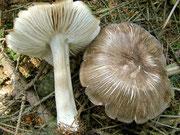 Megacollybia plathyphylla - Breitblatt-Samtrübling,bedingt essbar,häufig.Schon im Vorsommer in Laub-und Nadelwald.