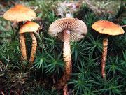 Cystoderma jasonis - Rostgelber Körnchenschirmling.In Nadelwäldern,weniger häufig als C.amianthinum.