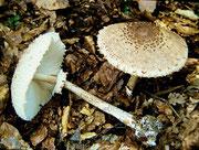 Macrolepiota procera (Bild 1/2)  - Riesenschirmpilz,Parasol,essbar.Beliebter und bekannter Speisepilz,bevorzugt im Laubwald und auf Wiesen.Nicht häufig.