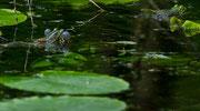 Balzende Teichfrösche in einem kleinen Tümpel am Main