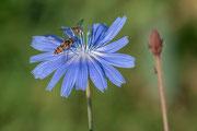 Schwebfliegen auf auf einer Blüte