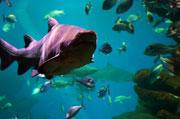Hai auf Futtersuche