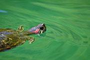 Kournas und die Schildkröten