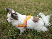 Ein farbenfrohes Norwegergeschirr für einen Chihuahua