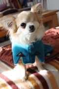 Chihuahua Chico