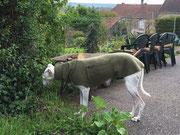 Galga Mila - Windhundpullover mit Snood (abnehmbar) in Oliv