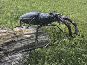 A stag-beetle / vliegend hert
