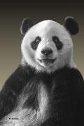 Panda bear Xing Ya