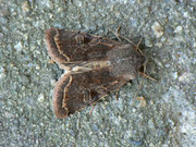 Orthosia incerta (Variable Kätzcheneule)  / NOCTUIDAE (Eulen)