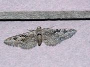Eupithecia pusillata