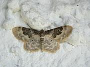 Idaea rusticata (Südlicher Zwergspanner) / GEOMETRIDAE / Sterrhinae
