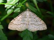 Perizoma verberata (Bergmatten-Kräuterspanner) / GEOMETRIDAE/Larentiinae (Spanner)