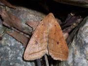Agrochola macilenta (Gelbbraune Herbsteule) / NOCTUIDAE (Eulen)