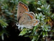 Polyommatus escheri / LYCAENIDAE/Polyommatini (Bläulinge)