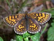 Melitaea athalia (Wachtelweizen-Scheckenfalter) / NYMPHALIDAE/Tribus Meliteaini (Edelfalter)