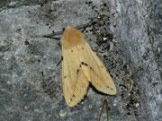Spilosoma lutea (Gelber Tigerbär / ARCTIIDAE (Arctiinae)