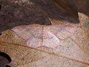 Cyclophora maderensis / GEOMETRIDAE/Ennominae (Spanner)