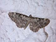 Eupithecia impurata (Felsrasen-Glockenblumen-Blütenspanner) / GEOMETRIDAE/Larentiinae (Spanner)