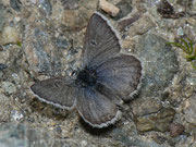 Plebejus glandon (w
