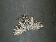 Eustroma reticulata / GEOMETRIDAE/Larentiinae (Spanner)
