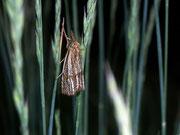 Thisanotia chrysonuchella