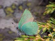 Callophrys rubi (Brombeer-Zipfelfalter) / LYCAENIDAE/Eumaeini (Bläulinge)