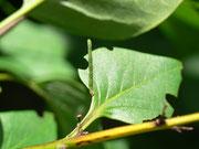 Eupithecia exiguata (Hecken-Blütenspanner) / CH BE Hasliberg 1050 m, 23. 08. 2020 an Syringa vulgaris