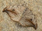 Drepanidae (Sichelflügler)