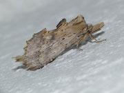 Pterostoma palpina (Palpen-Zahnspinner) / NOTODONTIDAE (Zahnspinner)