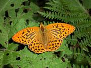 Argynnis paphia (m)