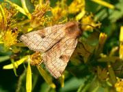 Sideridis lampra (Bibernell-Bergwieseneule) / NOCTUIDAE (Eulen)