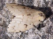 Lymantria dispar (Schwammspinner, Weibchen) / LYMANTRIIDAE (Trägspinner)
