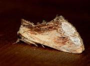 Ptilodon cucullina (Ahorn-Zahnspinner) / NOTODONTIDAE (Zahnspinnre)