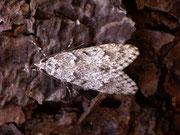 Chimabachidae