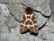 Arctia caja (Brauner Bär) / ARCTIIDAE/Arctiinae (Bärenspinner)