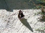 Limenitis populi (Grosser Eisvogel) / NYMPHALIDAE/Limenitidinae (Edelfalter)