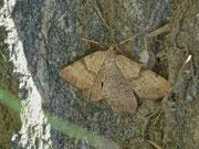 Selidosema brunnearia (Purpurgrauer Heide-Tagspanner) / GEOMETRIDAE/Ennominae (Spanner)