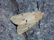 Spilosoma lutea (Gelber Tigerbär) / ARCTIIDAE/Arctiinae (Bärenspinner)