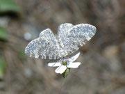 Eupithecia undata